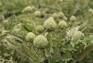 Artichokes grow well in California's cool coastal climate in the Salinas Valley. (Photo by M.A. Ebner)