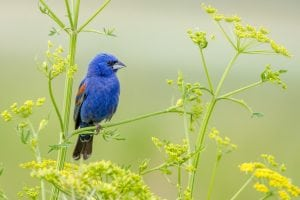 A Blue Grosbeak photographed by Mike Timmons, a FeederWatch volunteer in Indiana.