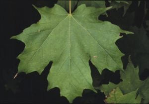 A sugar maple leaf (Cornell University)