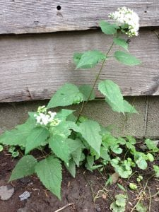 Garlic mustard is one of the non-native plants that homeowners have to contend with.  (photo by Pamela Doan)