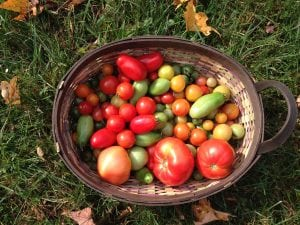 The last of the tomato harvest (Photo by P. Doan)