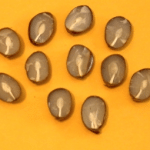 Persimmon seeds with shovels revealed.