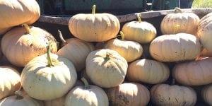 Long Island Cheese Pumpkins (photo provided)