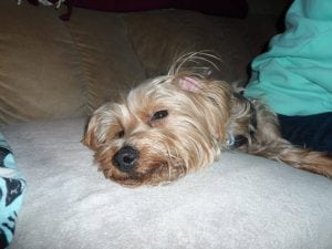 This Yorkie was found abandoned in a crate in Kent in the dead of winter in 2013. A Facebook darling, he was named Herman and adopted. (Putnam SPCA photo)