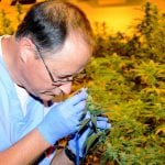 Cultivator Chuck Schmitt examines a plant in November 2015 during the first harvest by Vireo Health of medical marijuana plants at its facility in Perth, New York, northwest of Schenectady. (	Photo by Marc Schultz/The Daily Gazette)