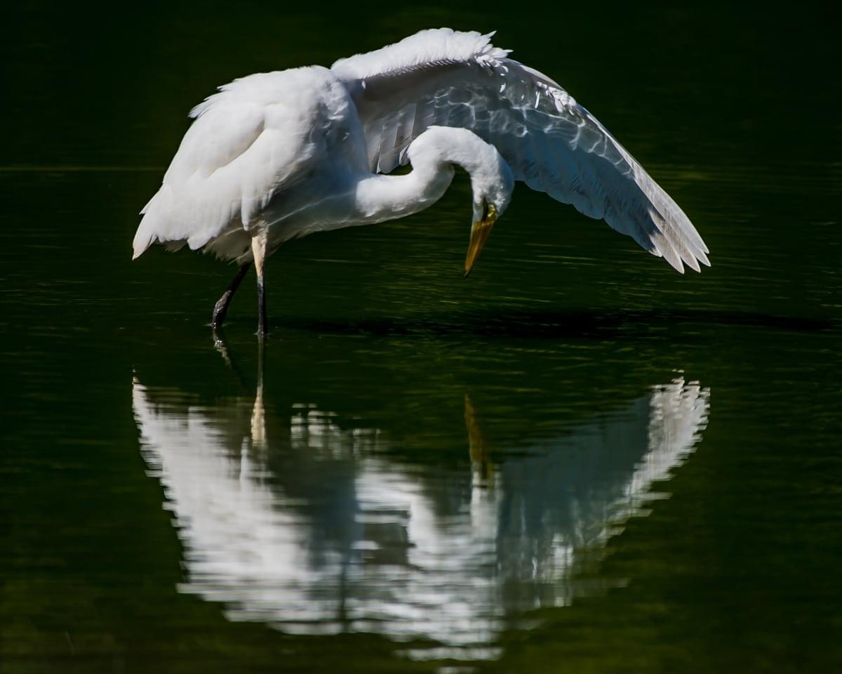 2 NATURE 20160915_Great White egret Reflection_001 – Bonnie Coe