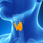 A depiction of the thyroid gland