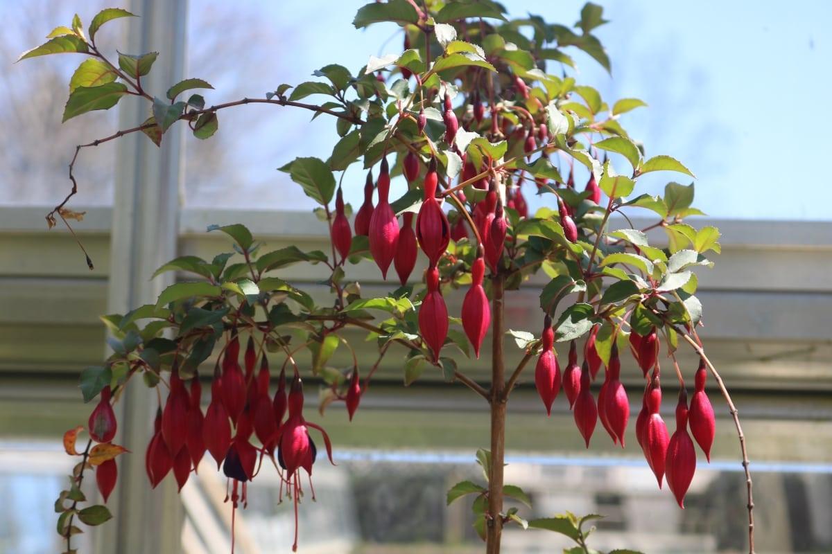 Stoencrop Deep Red Flower