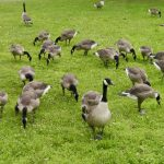 Beacon Geese Get Reprieve — For Now
