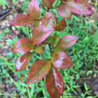 blueberry foliage