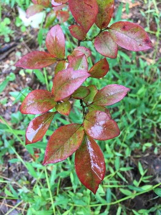 blueberry foliage