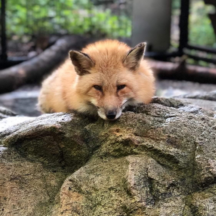 Ruby, Red Fox