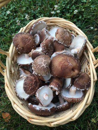 shitake mushrooms in basket