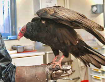 A visit with a turkey vulture