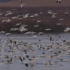 migration pattern