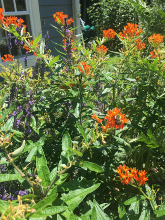 Butterfly weed and lavender