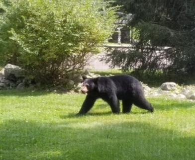 Graymoor bear